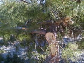 Šteta na borovima